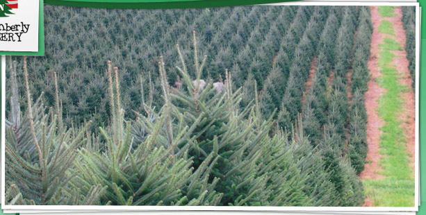 North Carolina Christmas Tree Growers Association